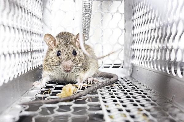 Miért válasszunk élvefogó patkánycsapdát?